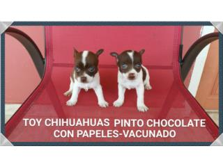 TOY CHIHUAHUAS PINTO CHOCOLATE Y OJOS AZULES Puerto Rico