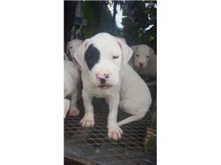 Dogo argentino Puerto Rico