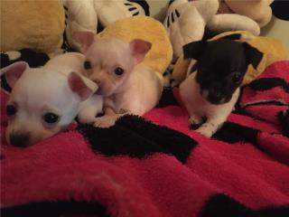Chihuahuas  Puerto Rico