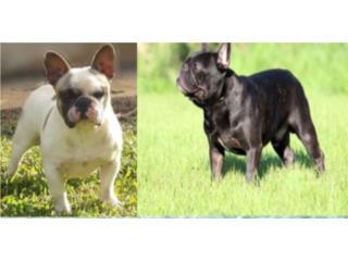 French Bulldog , Mascotas Puerto Rico