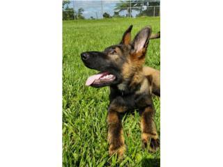 German Shepherd , Mascotas Puerto Rico