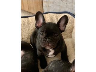 Puerto Rico French Bulldog calidad , Perros Gatos y Caballos
