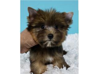 Puerto Rico Yorkie Sable, Perros Gatos y Caballos