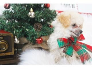 Puerto Rico Toy Poodle , Perros Gatos y Caballos