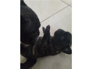 Hermosos french bulldogs  Puerto Rico