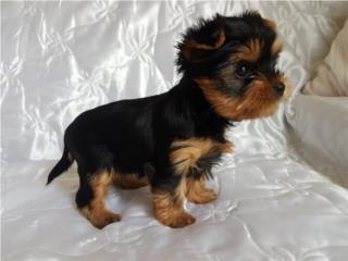 Purebred Tiny Yorkie Puppies for adoption Puerto Rico