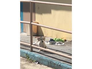 Precioso perrito necesita hogar Puerto Rico