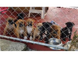 Puerto Rico American bulldog, Perros Gatos y Caballos