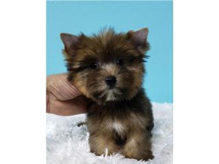 Puerto Rico Yorkie Macho, Perros Gatos y Caballos