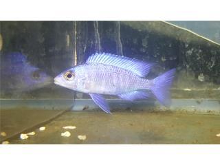 Placidochromis white lips Puerto Rico