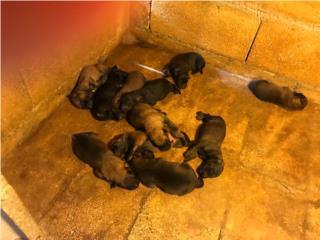 Puerto Rico Perritos Pastor Berga Malinois, Perros Gatos y Caballos