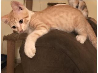 Precioso gatito de 6 meses  Puerto Rico