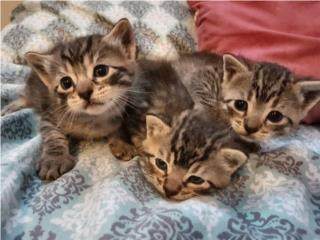 3 gatitos disponibles para adopción  Puerto Rico