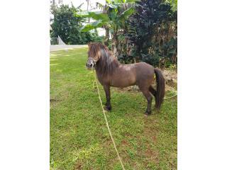Pony para venta Puerto Rico