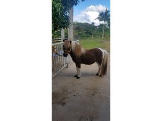 Pony macho Puerto Rico