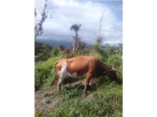 Vaca paria de macho Puerto Rico