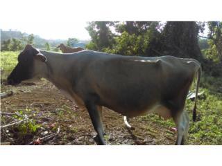 Vaca yersy Puerto Rico