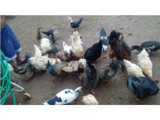 Lote de pollo del pais  Puerto Rico