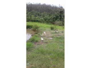 Patos Patitos Muscovy Puerto Rico