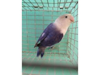 Lovebird violeta cabeciblanco Puerto Rico