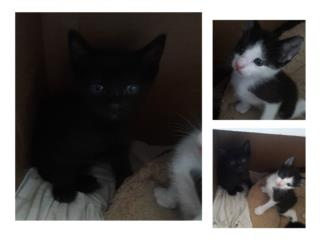 Gatitos bebes de ojos azules Puerto Rico