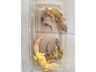 Geckos 3 Puerto Rico