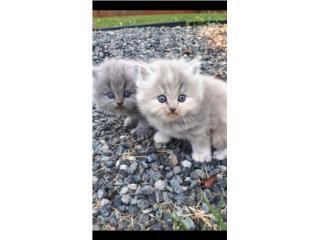 Hermosas gatitas persas Puerto Rico