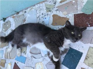 Se da en adopción bello gato Puerto Rico