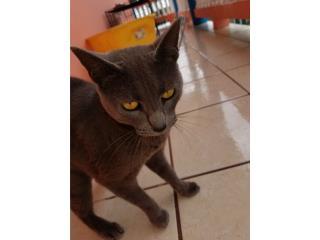 Regalo un Gato gris cenizo Puerto Rico