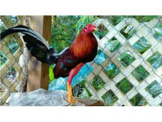 pollos y gallos redy finos Puerto Rico