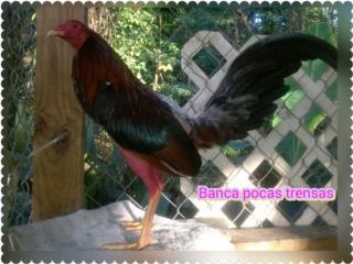 un padrote y dos gallinas finas probadas Puerto Rico