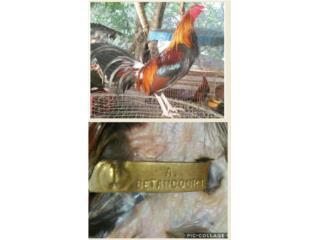 4 padrotes y 8 gallinas finas escogidos  Puerto Rico