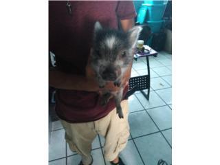 Cerdito enano ( mini pig) Puerto Rico