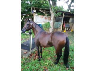 $1,500 caballo Puerto Rico