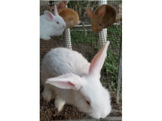 Conejos Flandes puros Puerto Rico