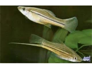 Xiphophorus Puerto Rico
