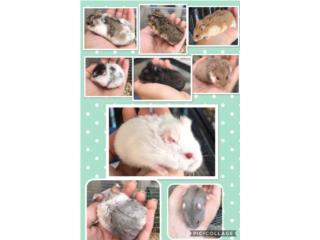 Hamster Rusos $8 Puerto Rico