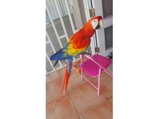 Precioso Guacamayo Scarlet,,. Puerto Rico