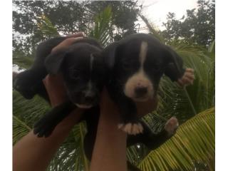 Perros pitbull gratis Puerto Rico