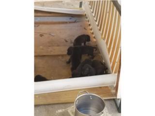 Se regala Perros  Puerto Rico