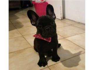 French bulldog Puerto Rico