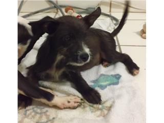 Adopción de puppies Puerto Rico