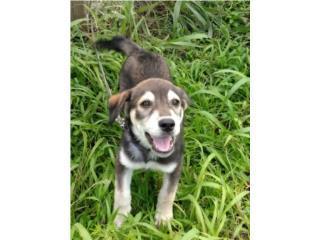 Preciosa puppy husky mezclada Puerto Rico