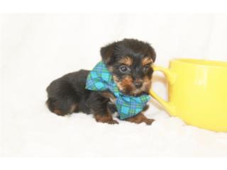 Puerto Rico Tea Cup Yorkie Macho , Perros Gatos y Caballos