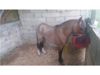 caballo entero manso Puerto Rico