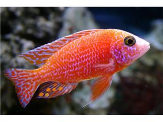 fire fish  Puerto Rico
