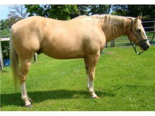 Excelente caballo de montaña de Kentucky. Puerto Rico