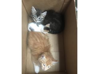 Gatitos peludos para adopción  Puerto Rico