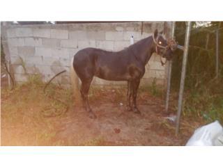 Pony hembra super mansa Puerto Rico
