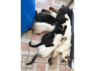 ADOPCION: Hermosos gatitos de 1 mes Puerto Rico